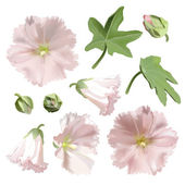 Set of Pink mallow flowers on white background. — Stock Vector