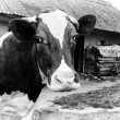 Black-and-white photo on the background of a cow farm. — Foto de Stock