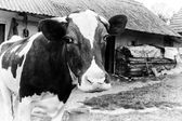 Black-and-white photo on the background of a cow farm. — Stock Photo