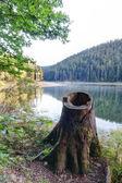Tree stump close-up of morning lake Synevir. — Stock Photo