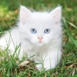 Stock Photo: Beautiful white kitten in park on grass.