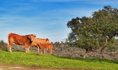 Family of cattle on a green pasture. — Stock Photo