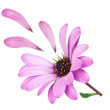 Stock Photo: Flower osteospermum with fallen petals purple. Lost love.