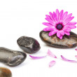 Stock Photo: Stones for massage and flower osteospermum on white background