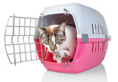 European cat in cage licking his paw. On a white background. — Stock Photo