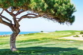 Decorative pine tree on a golf course near the sea. — Stock Photo