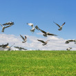 Stock Photo: Seagulls on the grass to fly up the flight. Close-up.