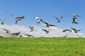 Seagulls on the grass to fly up the flight. Close-up. — Stock Photo