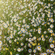 Sunbeams on forest glade of daisies. Summer on lawn. — Stock Photo #41521119