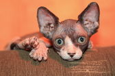 Little pretty canadian sphynx on sofa — Stock Photo