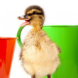 Royalty-Free Stock Photo: Duckling