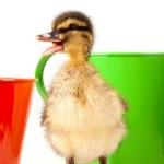 小鸭 — 图库照片