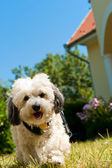 Havanese dog on the gras — Stock Photo