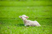 Cute young sheep — Stock Photo