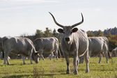 Hungarian gray cattle — Stock Photo