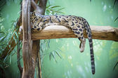 Durmiendo gato montés. — Foto de Stock