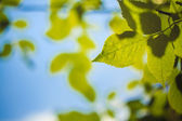 Green Leaves against the Sky — Stock Photo