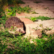 Royalty-Free Stock Photo: Hedgehog At Night