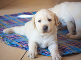 Labrador Retriever Puppy playing at home — Stock Photo