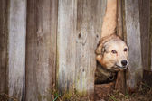 Angry dog look at outside — Stock Photo