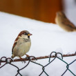 Male House Sparrow in winter plumage - Stock Photo