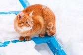 Red cat walking in the snow — Stock Photo