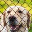 Yellow Labrador Retriever Behind Fence — Stock Photo