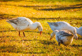 Geese On Green Grass — Stock Photo