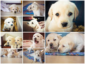Golden retriever puppy of 7 weeks old. Set, Collage — Stock Photo