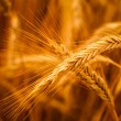 Golden Barley Ears — Stock Photo