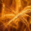 Golden Barley Ears — Stock Photo #30022299