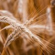 Stock Photo: Golden Barley Ears