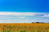 Campo del sol de flores contra un cielo azul — Foto de Stock