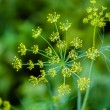 Branch Of Fresh Green Dill  — Stock Photo