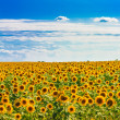 Sun flowers Field Against A Blue Sky — Stock Photo