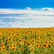 Sun flowers Field Against A Blue Sky — Stock Photo #33308807