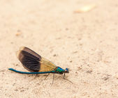 Blue Dragonfly On Sand — Stock Photo