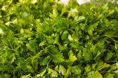 Fresh parsley bunch — Stock Photo