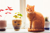 Red Cat Sitting On The Window — Stock Photo