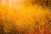 Grama de verão em prado — Foto Stock