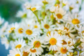 White Camomiles Flowers — Stock Photo