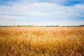 Golden Barley Ears — Stock Photo