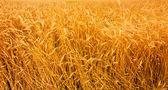Fondo de las orejas de oro de la cebada — Foto de Stock