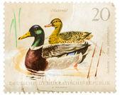 明信片印在 gdr 显示野鸭 — 图库照片