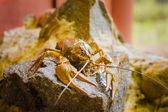 Crawfish On Stone — Stock Photo