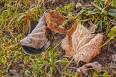 Maple Frost Green Grass — Photo