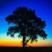 Velha árvore no pôr do sol — Foto Stock