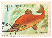 Post stamp printed in USSR (CCCP, soviet union) shows oncorhynch — Fotografia Stock