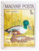 Stamp printed in HUNGARY shows a Northern Shoveler (Anas clypeat — Stock Photo