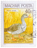 Stamp printed in Hungary shows Graylag Goose, with the inscripti — Stock Photo